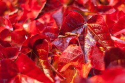 Closeup on Ruby Red colored Autumn Leaves. Shallow Focus