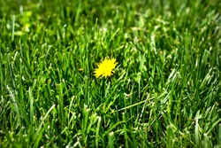 Closeup one isolated yellow dandelion in middle of healthy green grass lawn, weeding, weeds, broadleaf, unhealthy grass lawn, weed prevention, chemicals, herbicides, lawn maintenance program