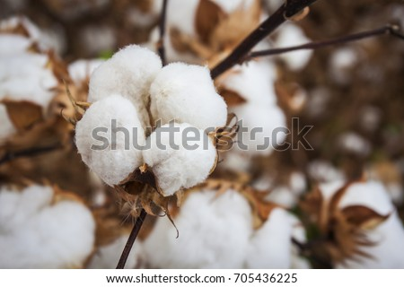 Closeup Open Defoliated Cotton Boll in Arizona Southwest Agriculture Field