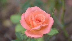 Closeup orange rose flower,background