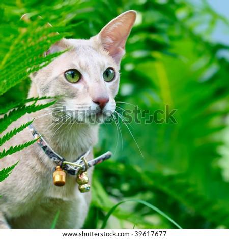 Closeup outdoor macro portrait of an oriental shorthair cat with handbell in grass