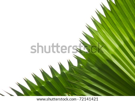 Closeup palm green leaf isolate on white