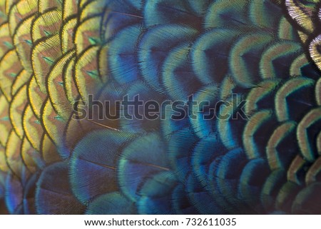 Closeup peacock feathers (Green peafowl)