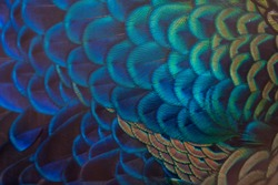 Closeup peacock feathers (Indian peafowl)