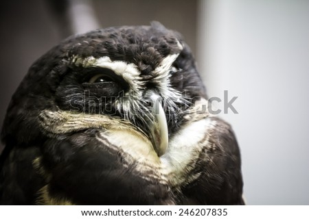 Closeup photo of a beautiful Spectacled owl bird. The spectacled owl  is a large tropical owl native to the  forests from southern Mexico, Trinidad,  Brazil, Paraguay and Argentina.
