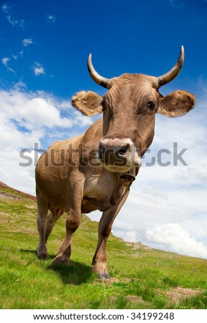 Closeup photo of a cow in a meadow. It\'s  a sunny day with some clouds.