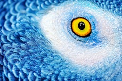 Closeup photo of a yellow eye of the parrot with bright blue feathers, beautiful natural background, exotic birds birdwatching, wildlife safari, macro