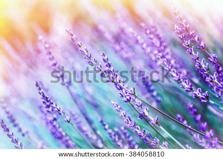 Closeup photo of beautiful gentle lavender flower field, abstract purple floral background, aromatic plant, beauty of spring nature