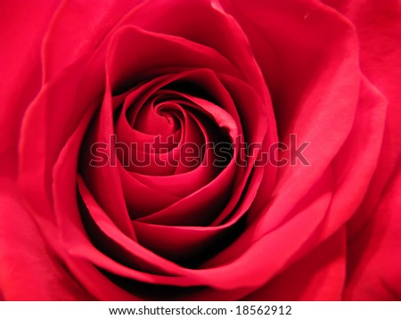 closeup photo of beautiful red rose flower