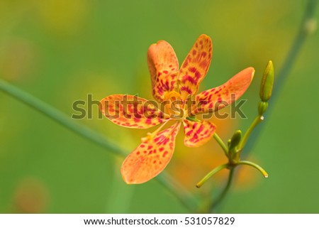 Closeup photo of Blackberry lily, leopard flower, leopard lily (Iris domestica) in the garden in Singapore, blurred background