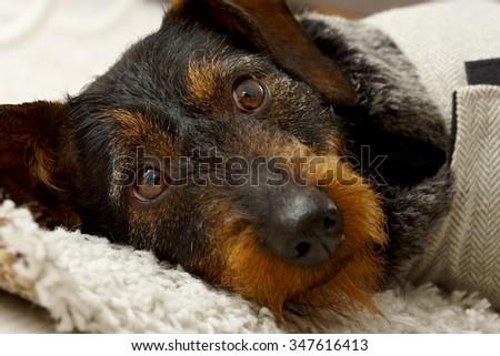 Closeup photo of cute dog head, lying, looking at camera.