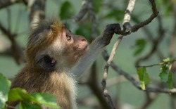 Closeup photo of cute young oldworld monkey sitting on the tree branches in Sri Lanka.