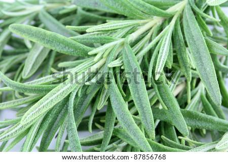 Closeup photo of fresh Rosemary