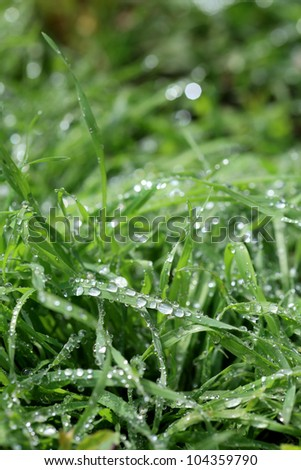 Closeup photo of green grass with rain drops in early morning