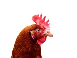 Closeup photo of head brown-haired hen with eye and beak, isolated on white background