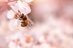 Closeup photo of little bee pollinating blooming cherry tree, insect sitting on gentle white flowers over pink blurry background, spring season concept