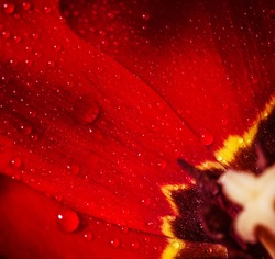 Closeup photo of red tulip core, abstract floral background, dew drops on petals of flower, spring time nature detail