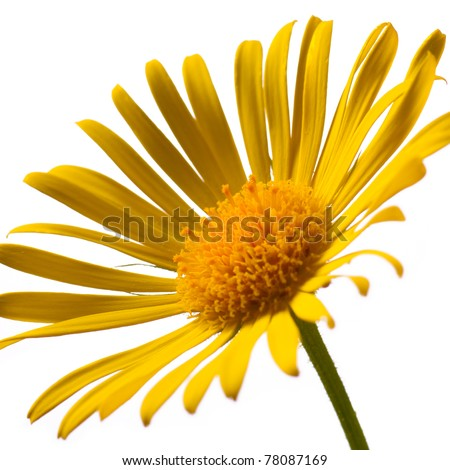 Closeup photo of yellow arnica
