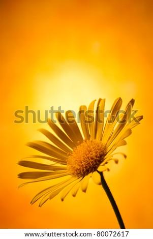 Closeup photo of yellow arnica
