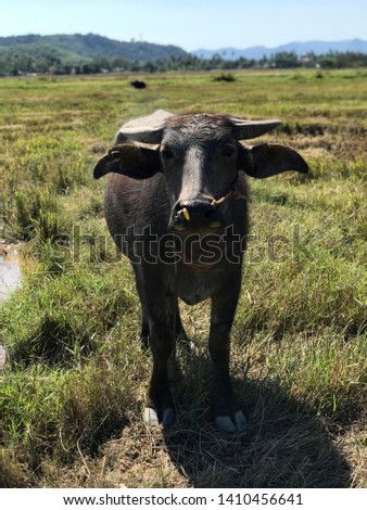 Closeup photo, portrait of Malaysian Water Buffalo with little horns, Langkawi, Malaysia. Wild life. Farm animals.