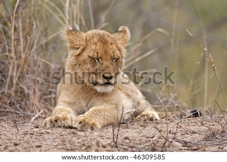 Closeup photograph of a young baby lion that is about to fall asleep. Please see more wildlife photos in my portfolio.