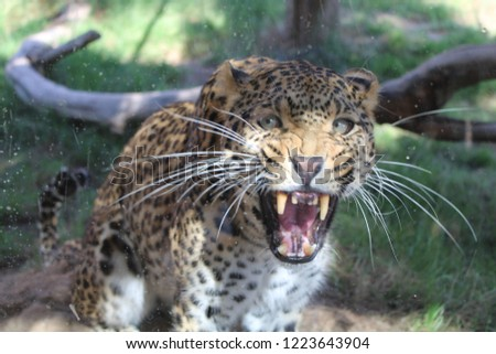 Closeup picture of a beautiful angry leopard.