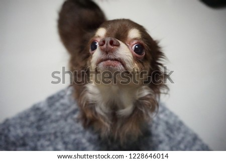 Closeup picture of a Chihuahua dog breed looking cute and innocent. Small brown furry doggy. Mini canine.