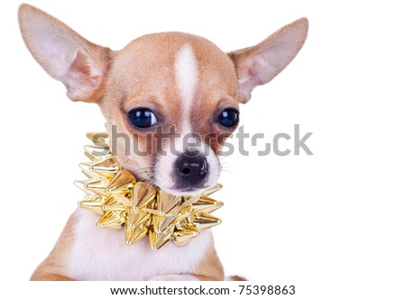 closeup picture of a chihuahua puppy with golden studded collar - stock photo