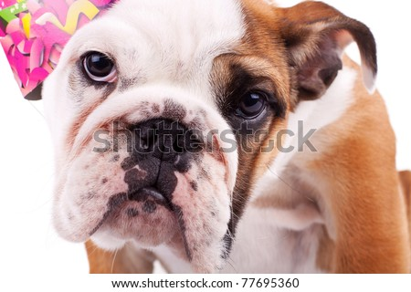 closeup picture of a cute english bulldog puppy with party hat