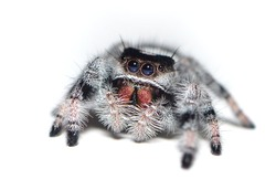 Closeup picture of a female of the regal jumping spider (Phidippus cf. regius; family Salticidae) from Florida (USA), a common pet arachnid photographed on white background.