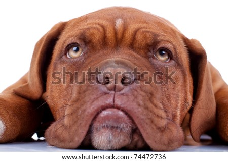 closeup picture of a french mastiff's sad eyes