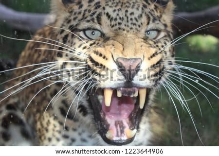 Closeup picture of a furious leopard.