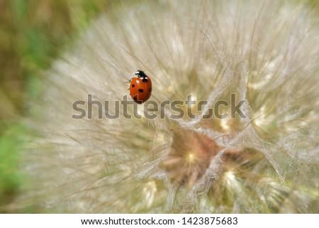Closeup picture of a Ladybug on a dandelion.
