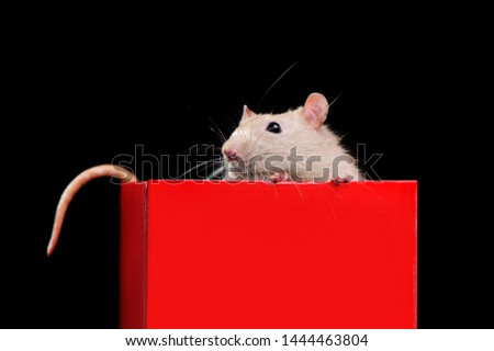 Closeup picture of a rat sitting in the red present box