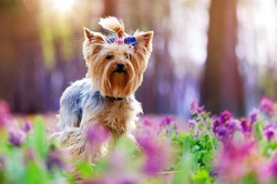 Closeup picture of a yorkshire terrier dog in the flower meadow