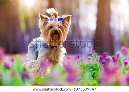 Closeup picture of a yorkshire terrier dog in the flower meadow #1075509947
