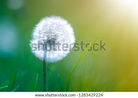 Closeup picture of beautiful overblown white puffy flower dandelion with tiny black seeds standing alone on high stem on blurred green bokeh background. Beauty and tenderness of nature concept.