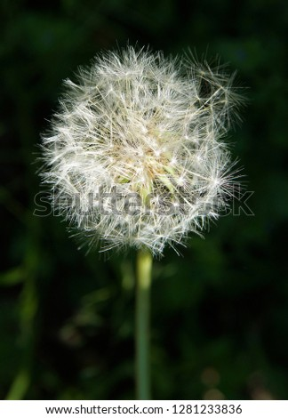 Closeup picture of beautiful white puffy dandelion standing alone on high stem on blurred 