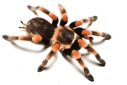 Closeup picture of colourful adult female of Mexican Red-Knee tarantula spider Brachypelma smithi (Araneae: Theraphosidae), photographed on white background.