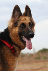 closeup picture of german shepherd dog with blur background