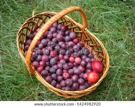 Closeup picture of handbasket full of fresh juicy riped blue plums from organic farming just harvested in garden standing in the grass at summer evening