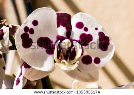 Closeup picture of moth orchid.
