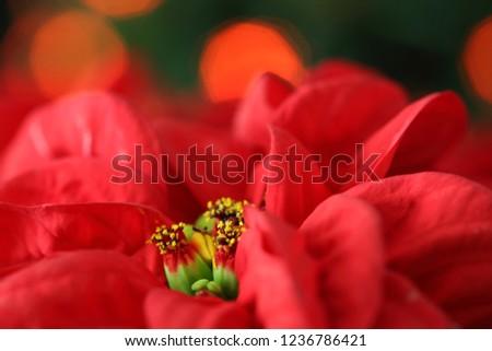 Closeup picture of Poinsettia