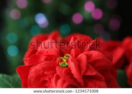 Closeup picture of Poinsettia with illumination
