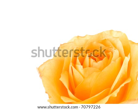 Closeup picture of tea rose on white background.