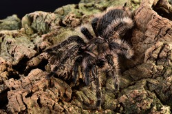 Closeup picture of the Honduran curlyhair tarantula Tliltocatl albopilosus (previously Brachypelma albopilosum) (Araneae; Theraphosidae), a common