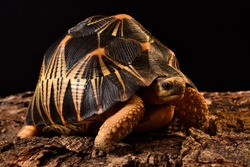 Closeup picture of the Indian star tortoise Geochelone elegans (Testudines; Testudinidae), a common