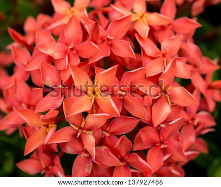 Closeup picture of West Indian jasmine. In Thailand most found in red color species #137927486