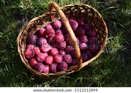 Closeup picture of wickerwork handbasket full of fresh juicy riped blue plums from organic farming just harvested in garden standing in the green grass.
