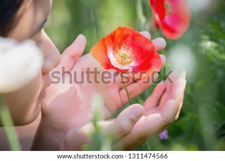 Closeup picture on hand touching poppy flower in the field of wheat on summer day outdoors copy space background